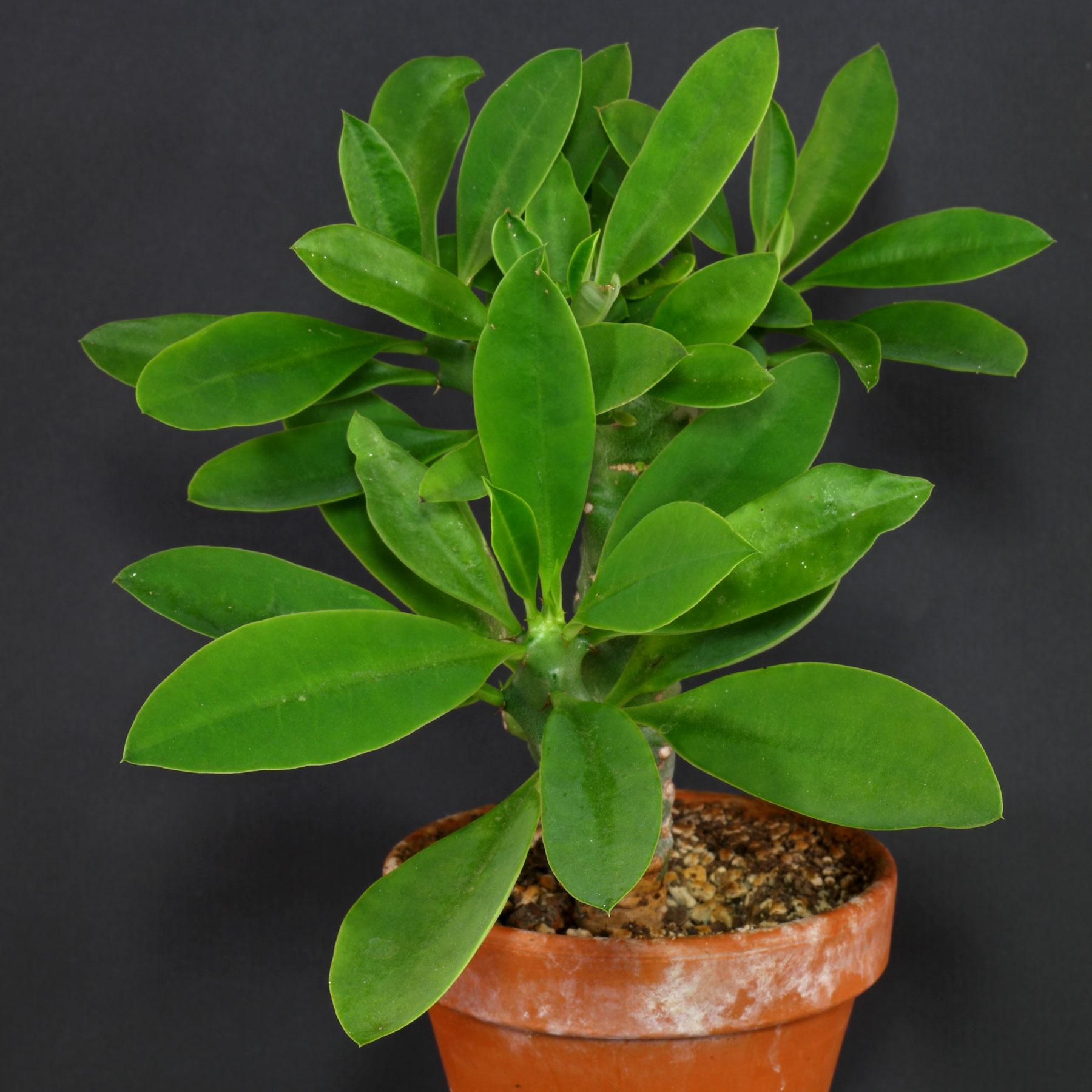 Euphorbia nivulia 4