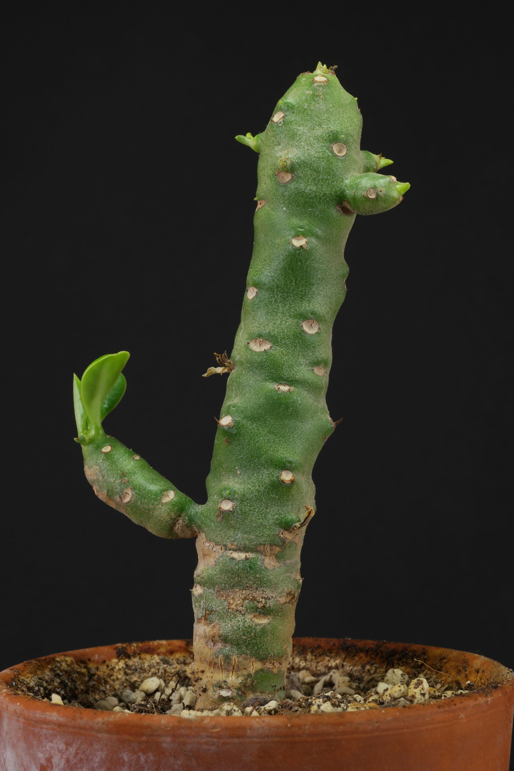 Euphorbia nivulia Stamm