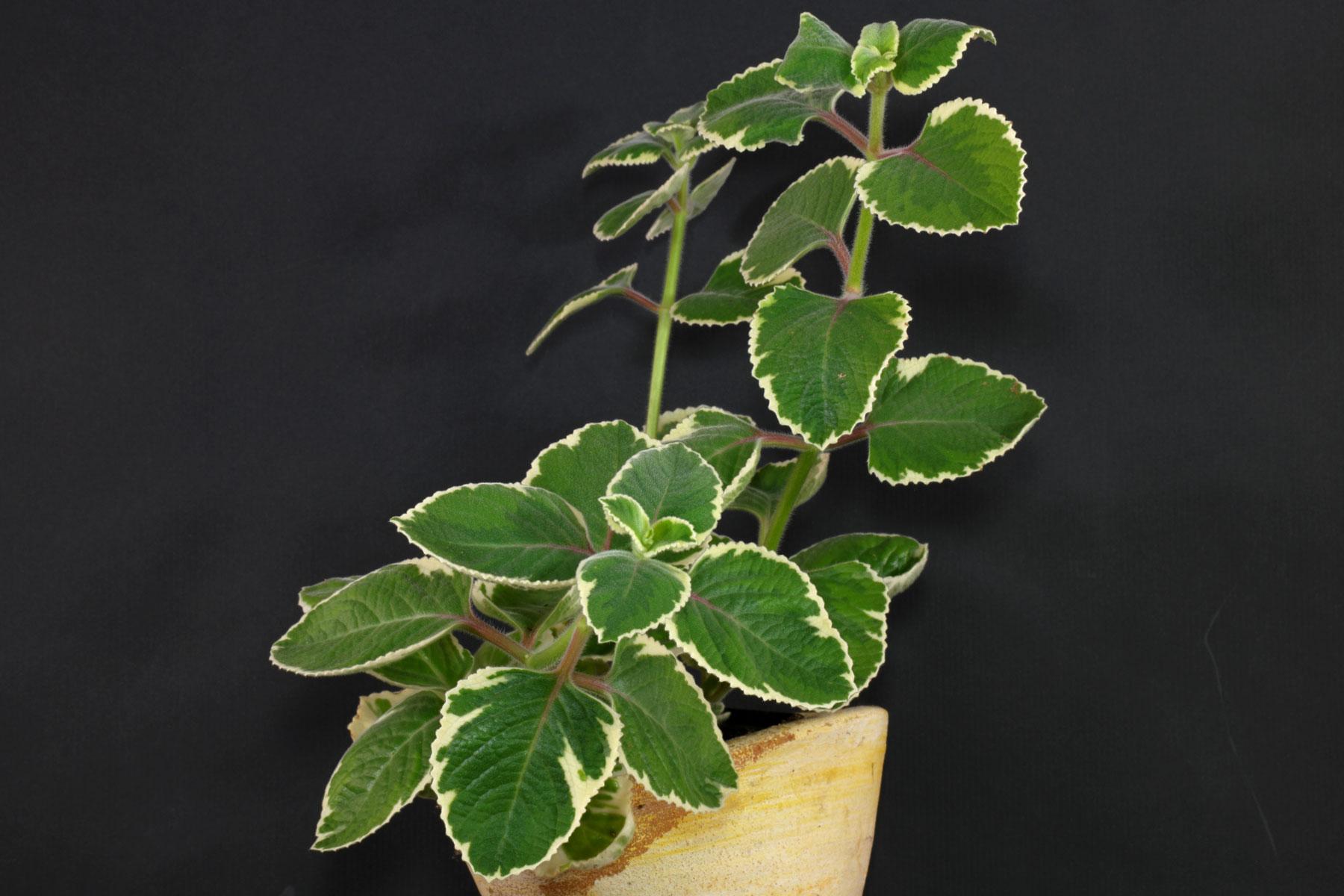 Plectranthus amboinicus Variegata