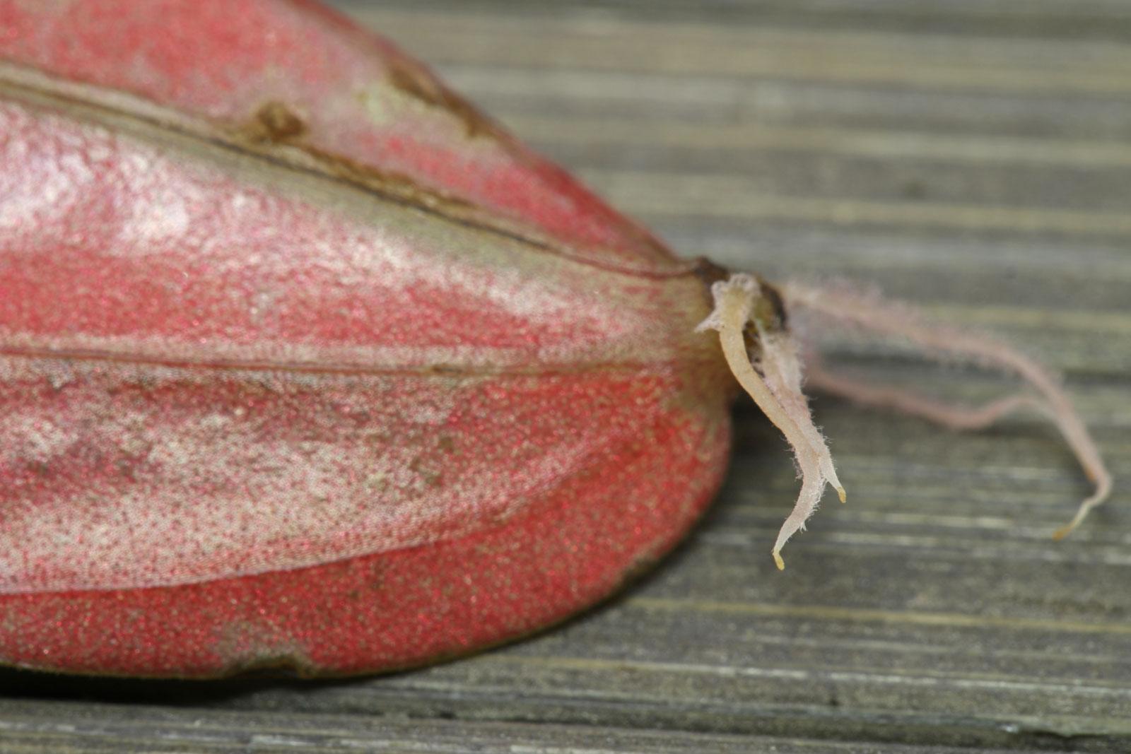 Peperomia caperata Rosso