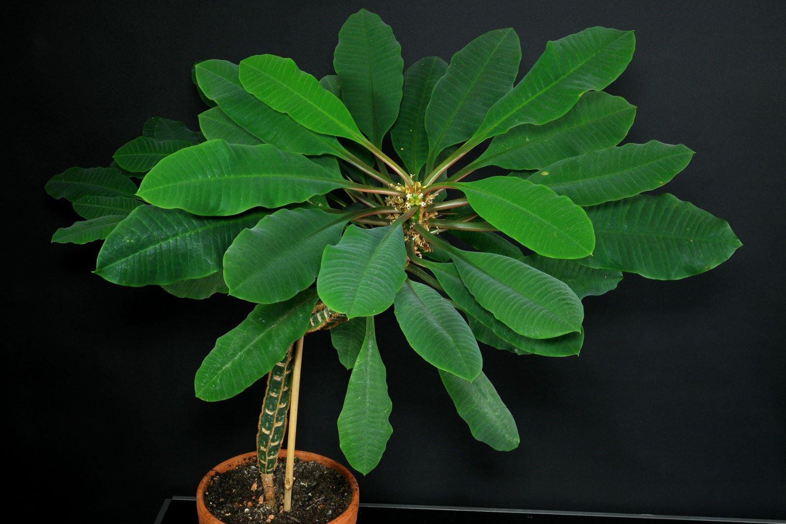 Euphorbia leuconeura 4