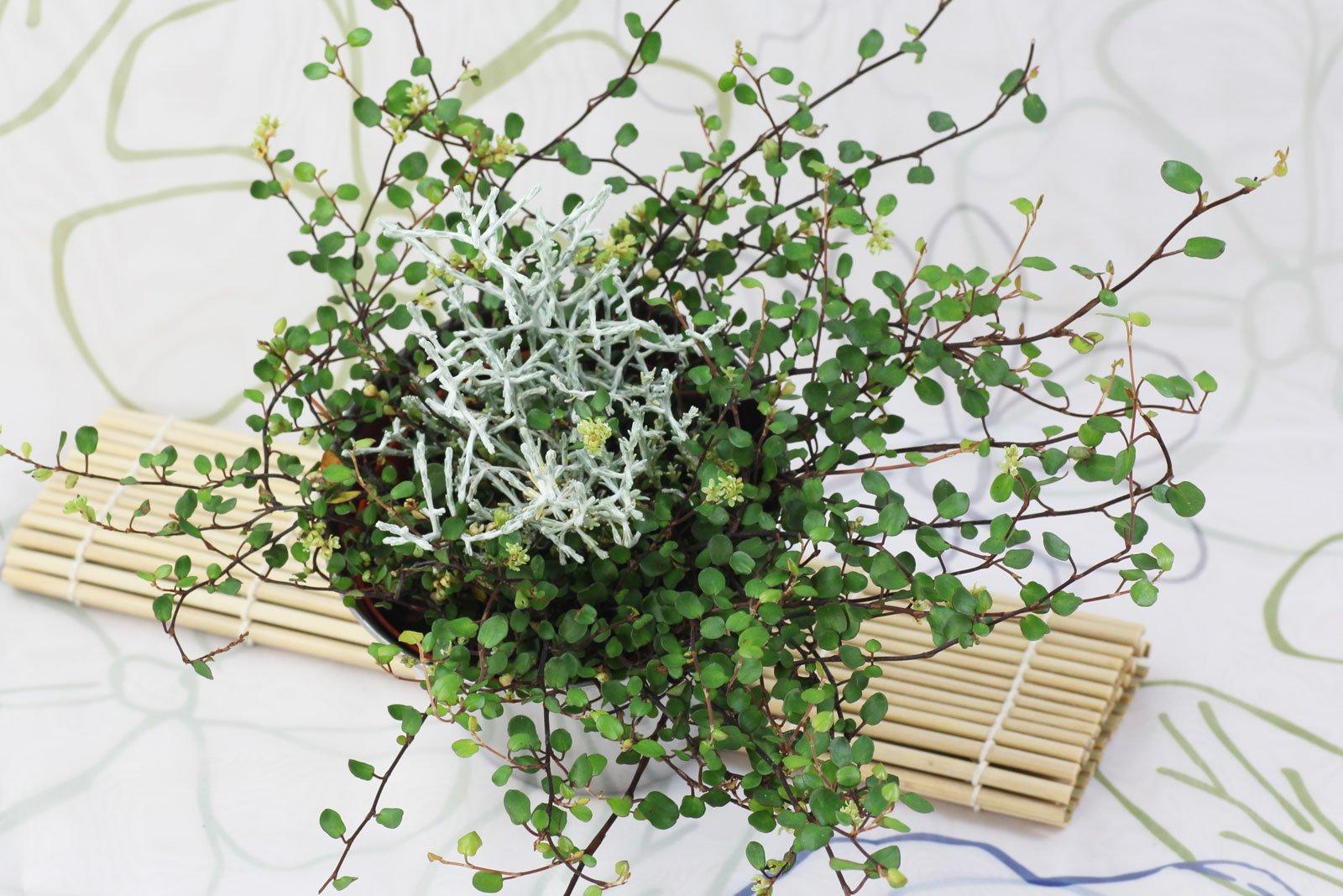 Kiwi Knoeterich Stacheldrahtpflanze