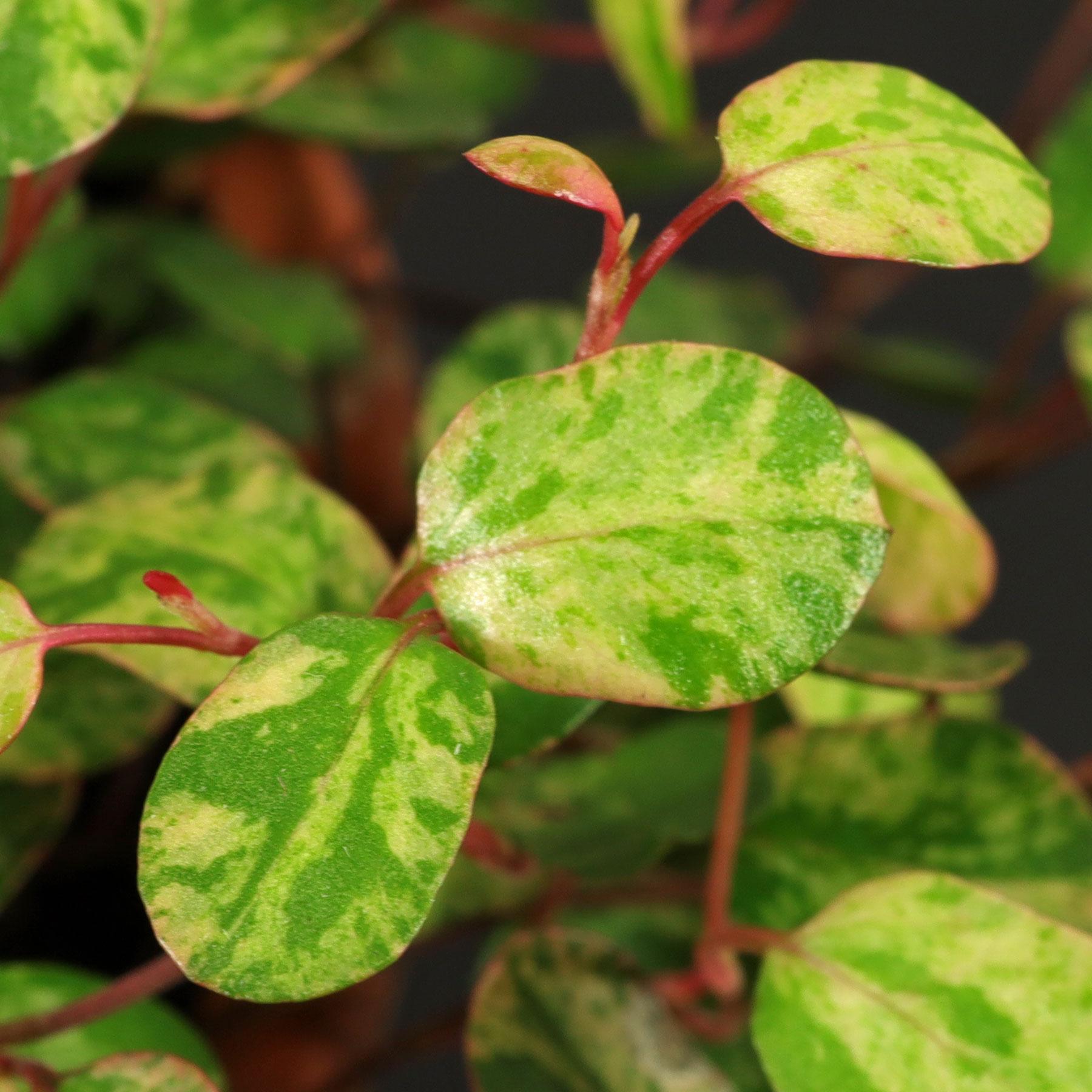 Muehlenbeckia complexa Pink Camouflage