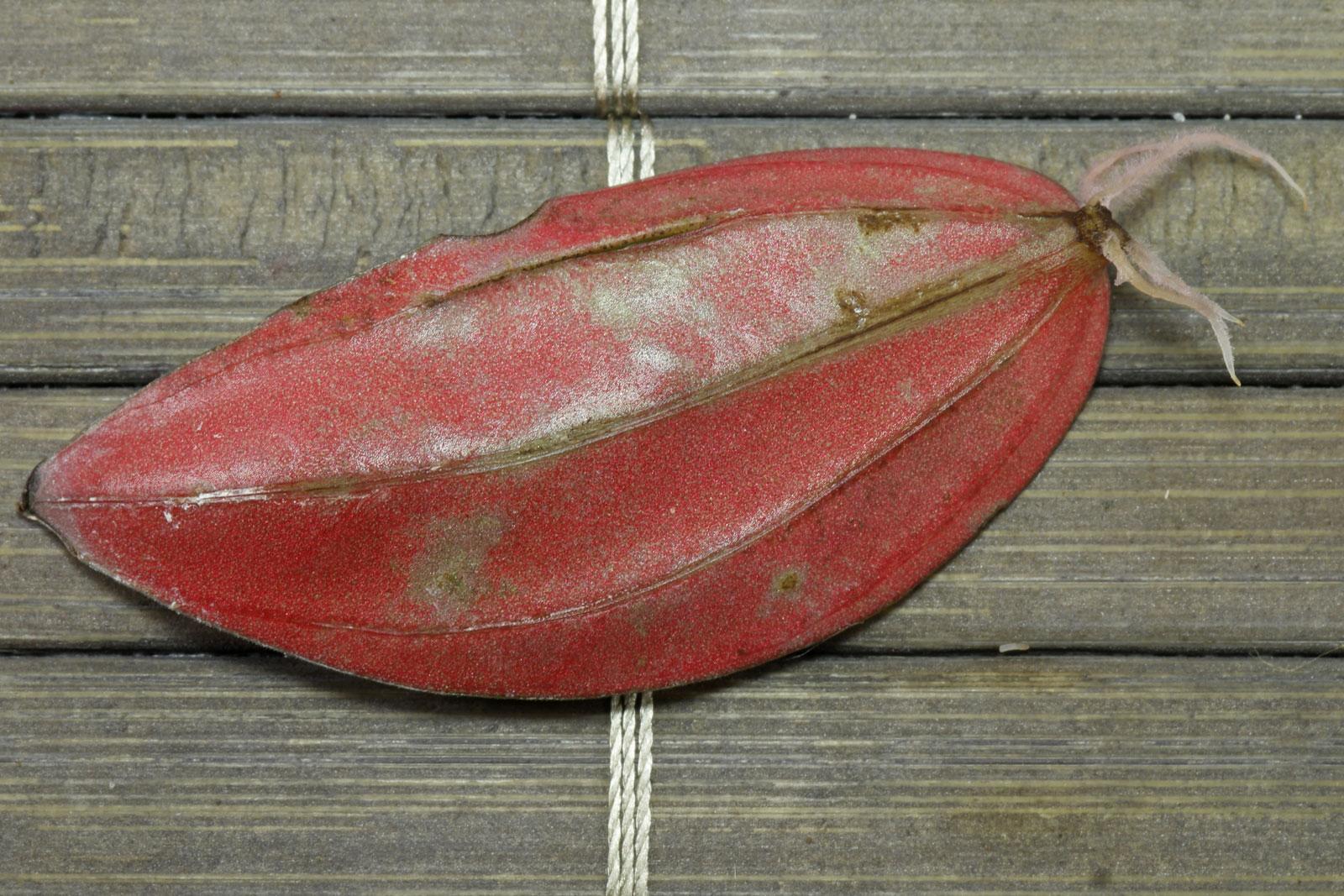 Peperomia-Blattsteckling