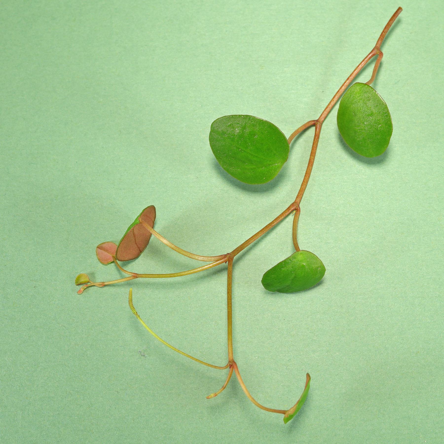 Peperomia prostrata Pepperspot