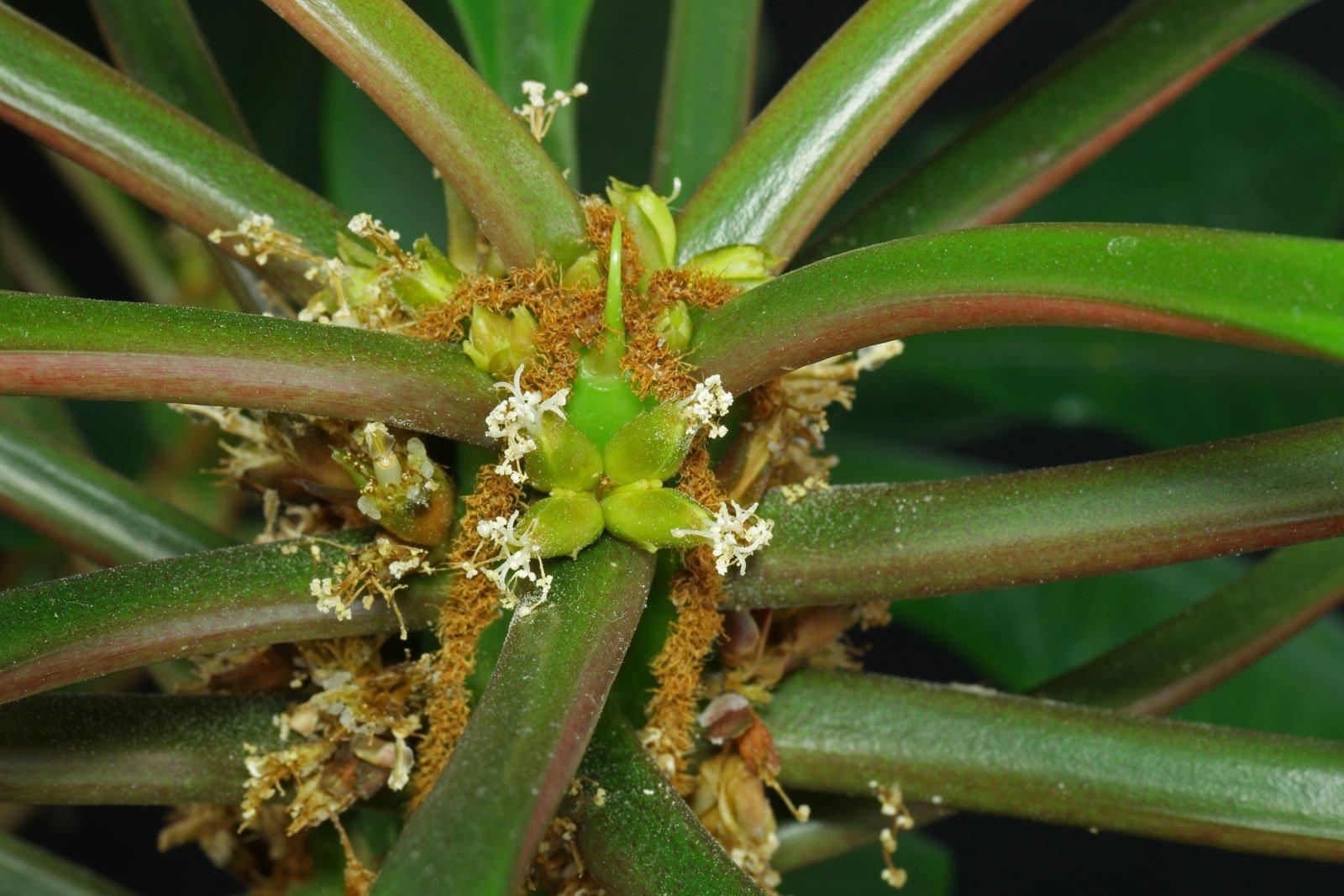 Spuckpalme Blüten