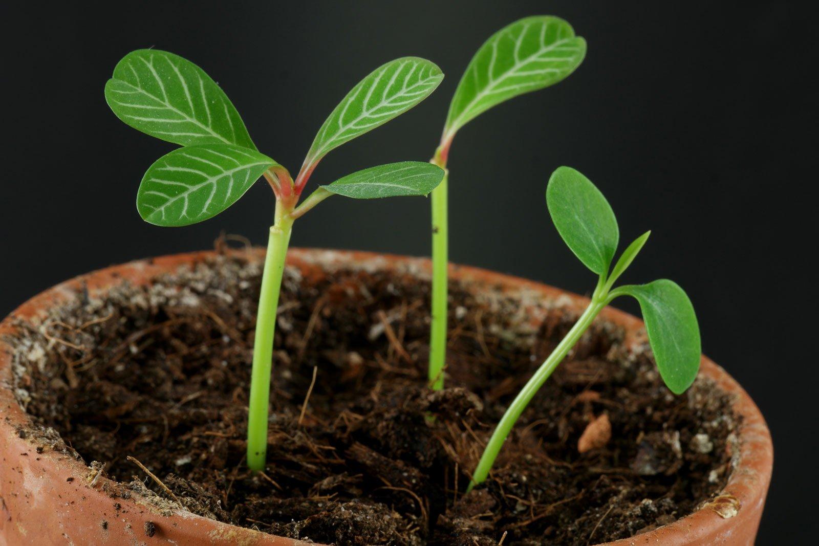 Spuckpalme vermehren