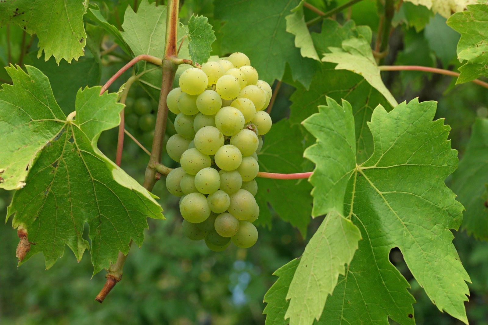 Vitis vinifera ssp vinifera 2