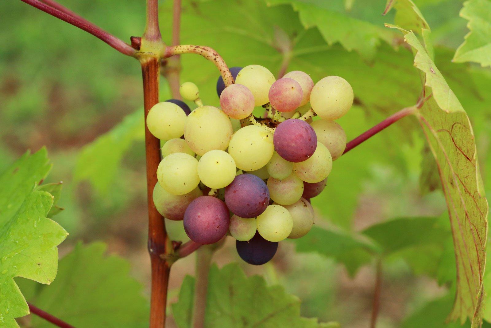 Vitis vinifera ssp vinifera