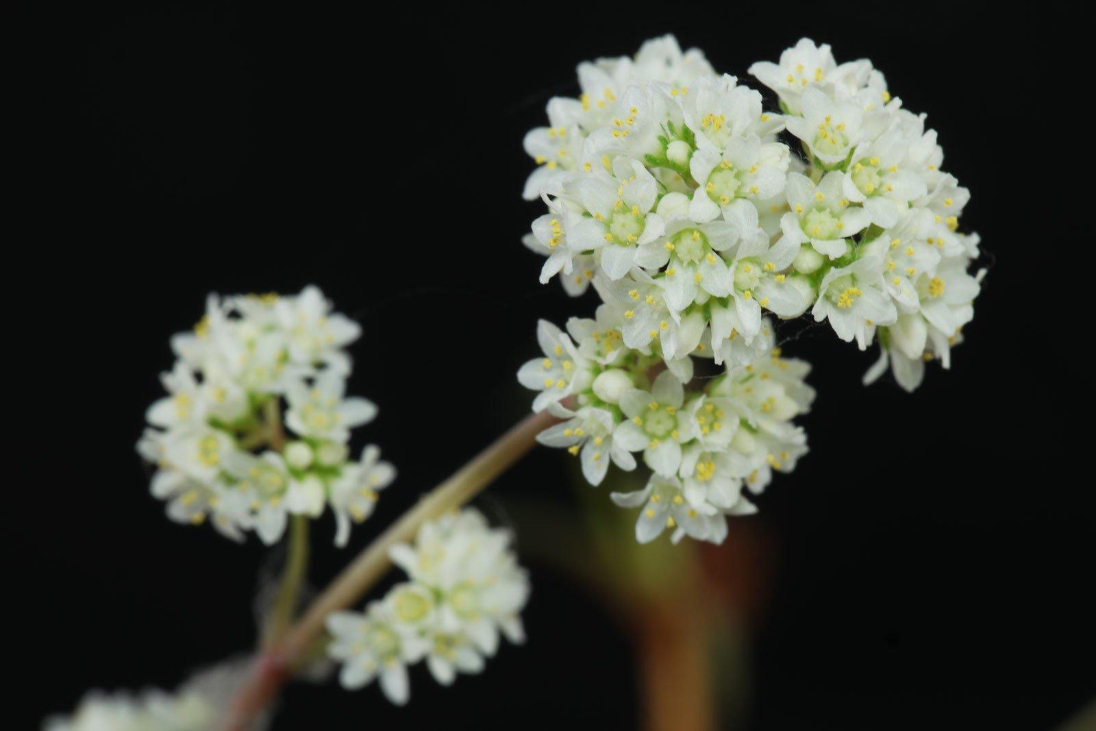 Crassula orbicularis var Rosularis