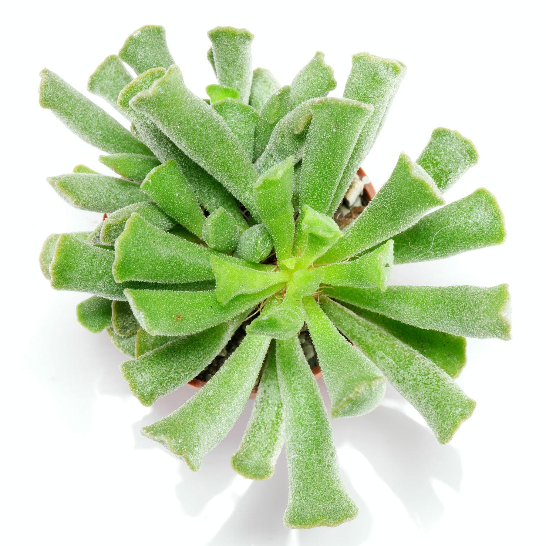 Adromischus cristatus var. clavifolius