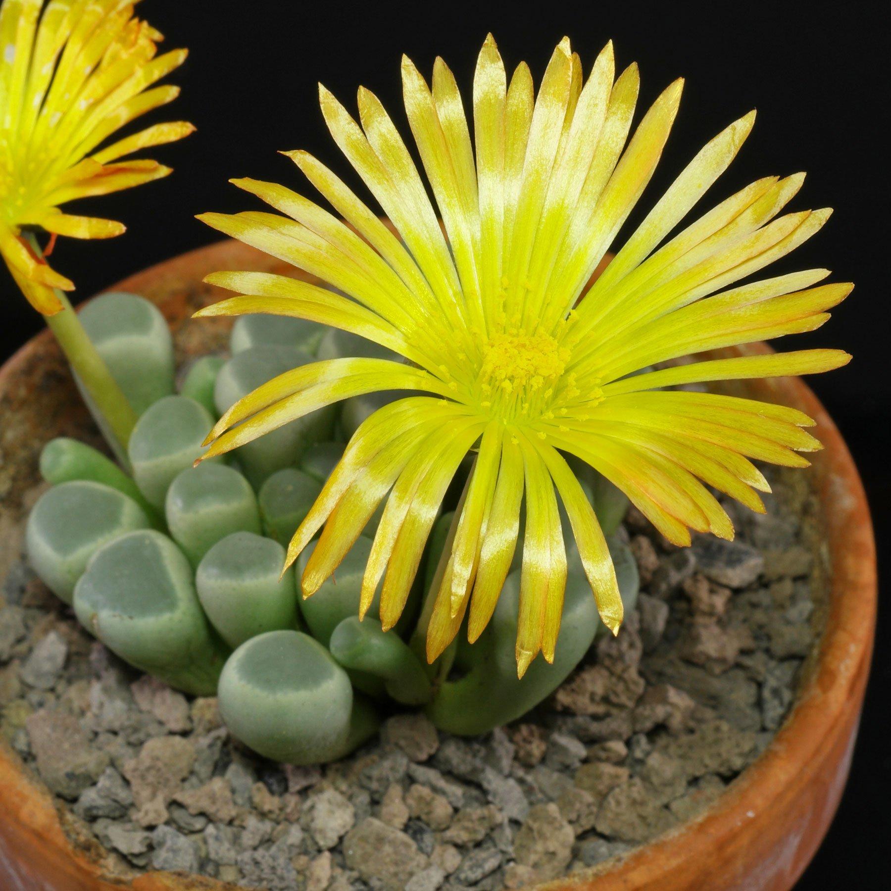 Fenestraria rhopalophylla ssp. aurantiaca