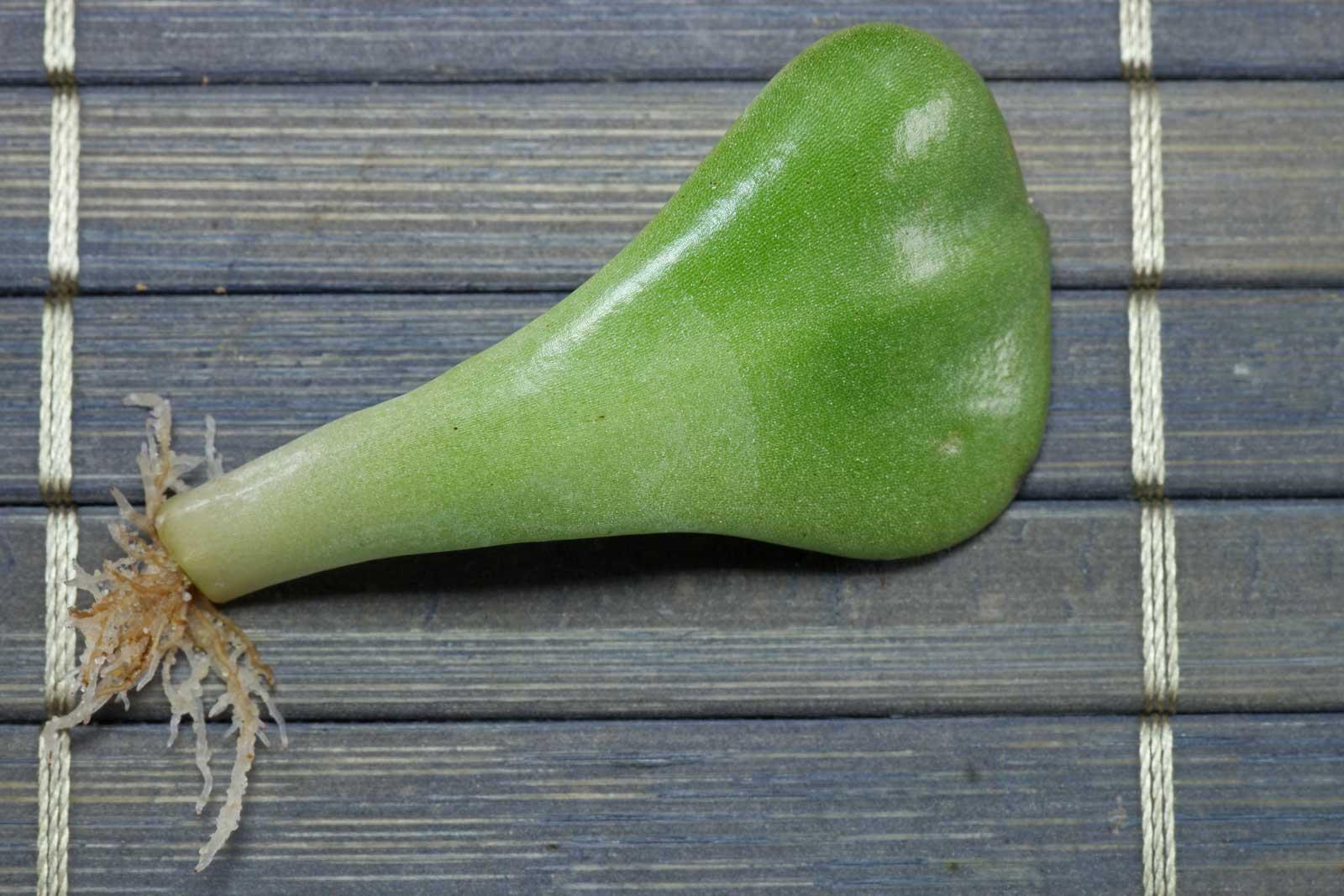 Graptopetalum bellum