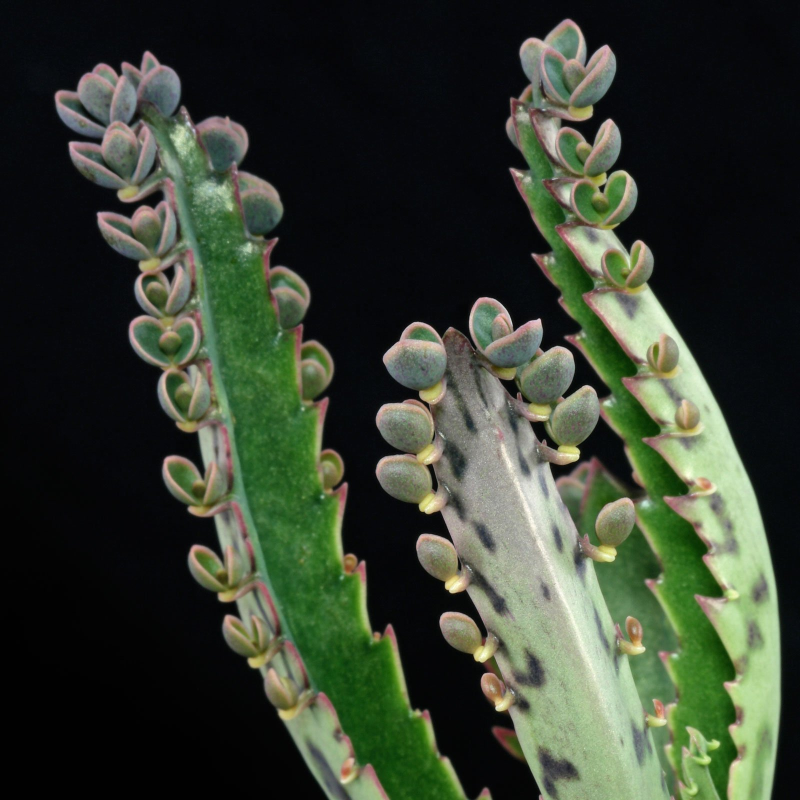 Kalanchoe daigremontiana