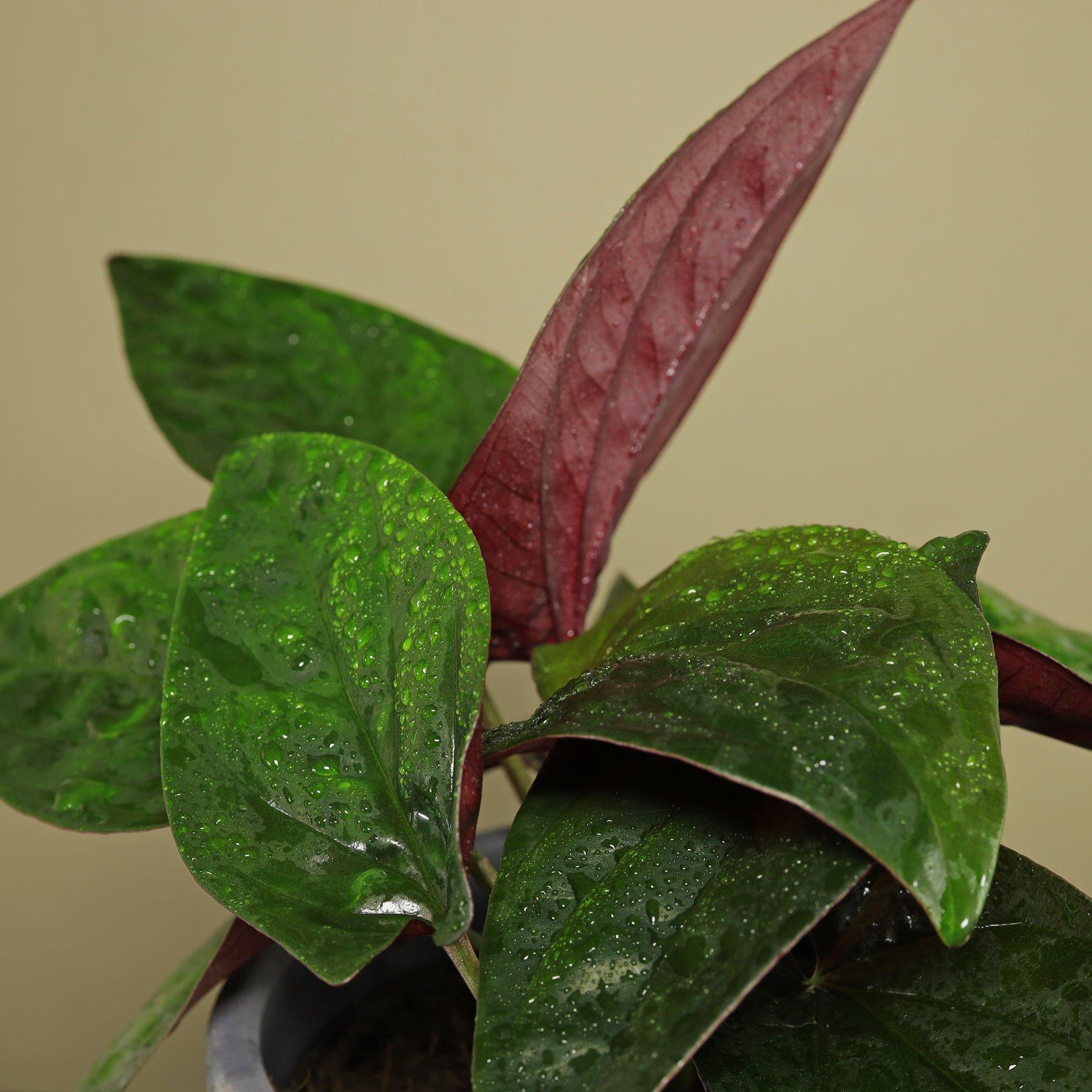 Syngonium erythrophyllum Pflege