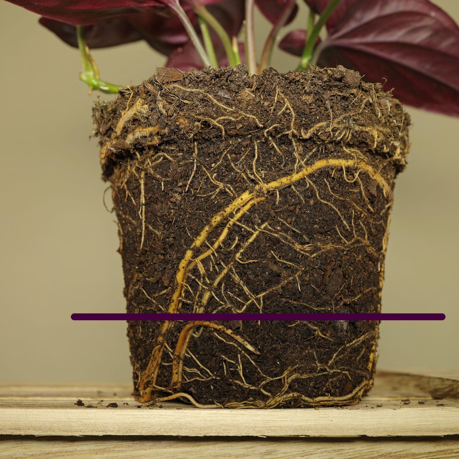 Syngonium erythrophyllum giessen
