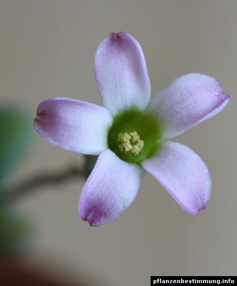 Tylecodon Blüte