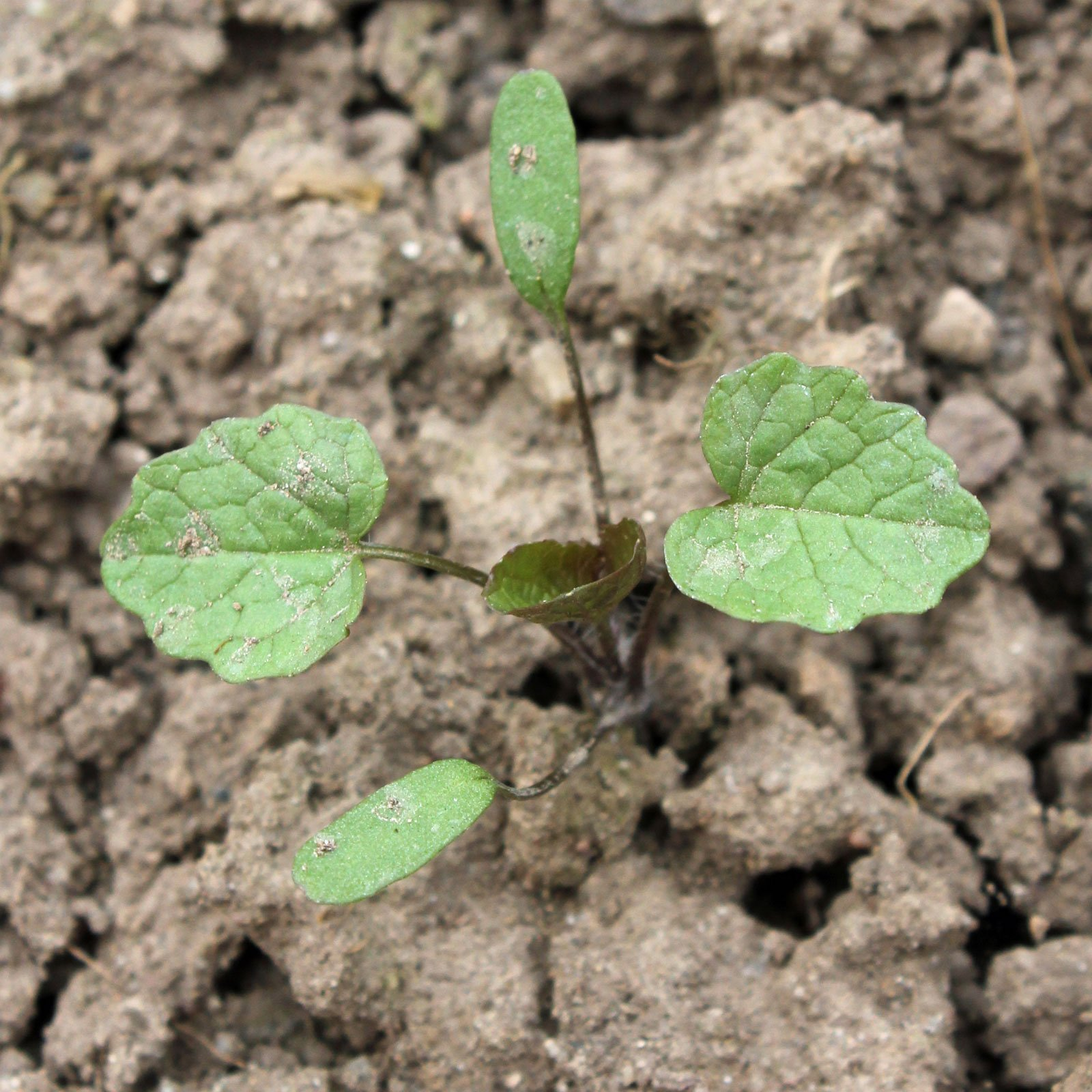 Alliaria petiolata 1