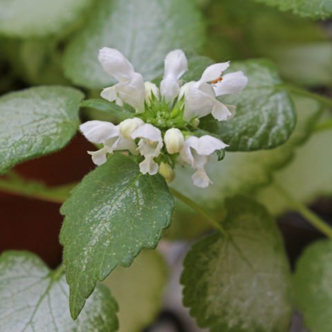 Lamium maculatum White Nancy