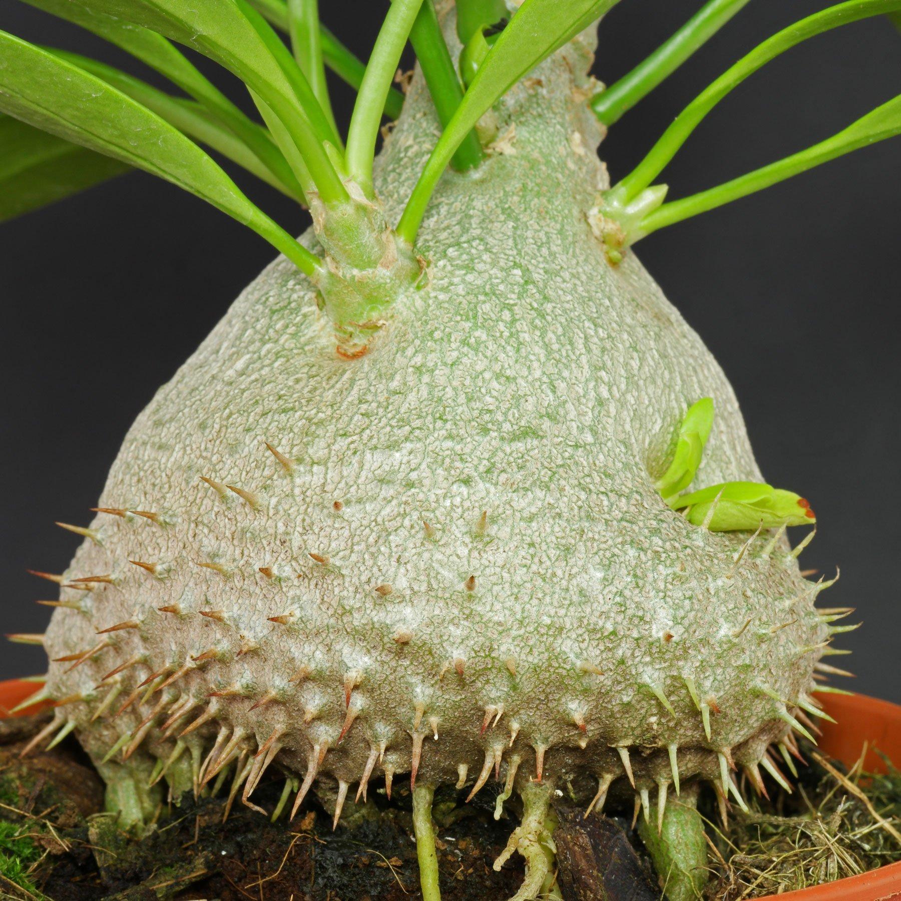 Myrmecodia beccarii