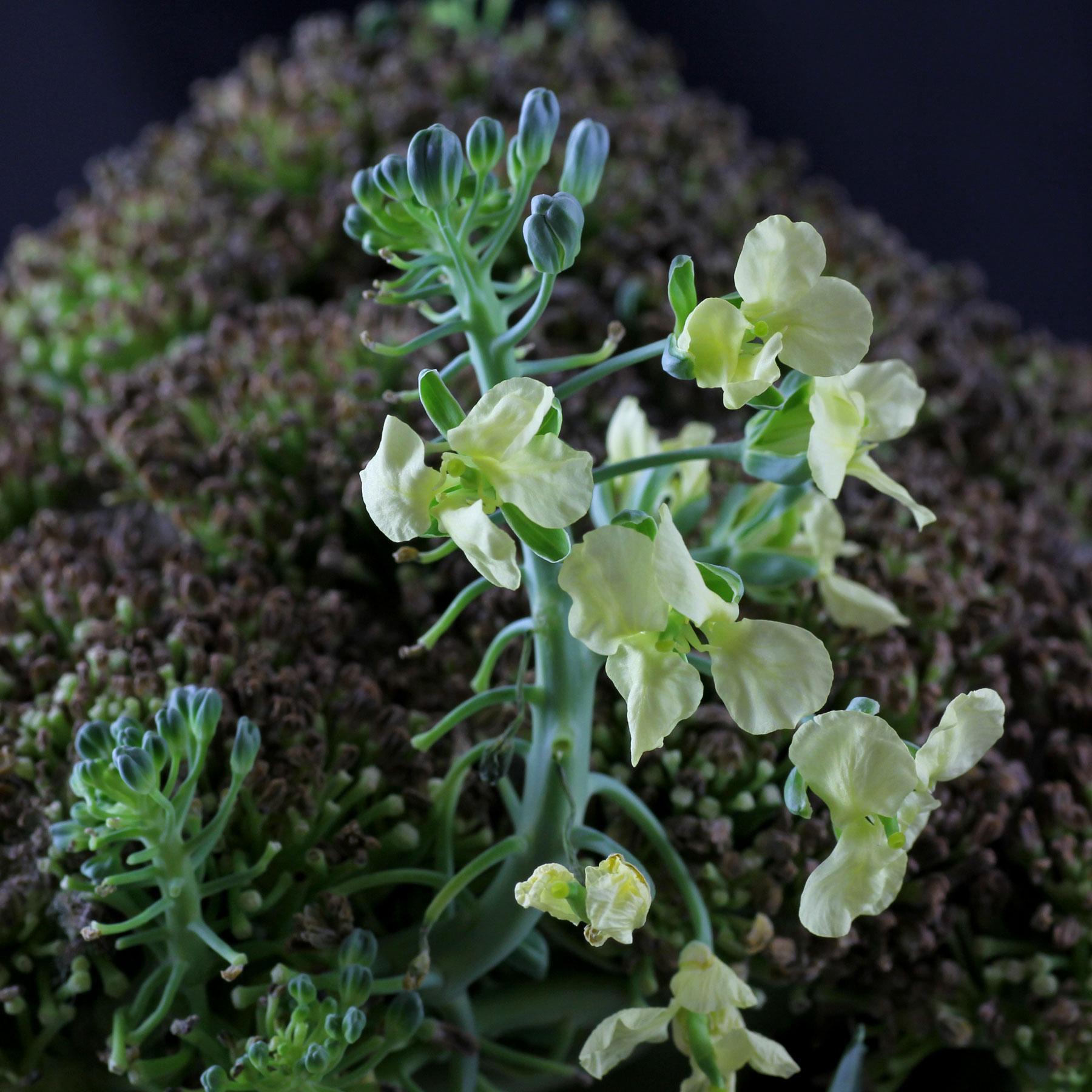 Brokkoli Blüten
