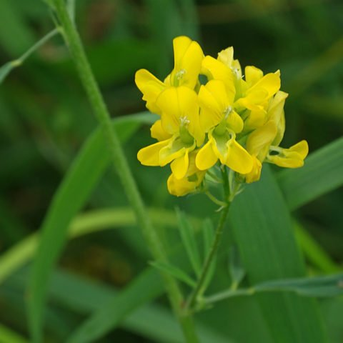 Medicago sativa ssp falcata