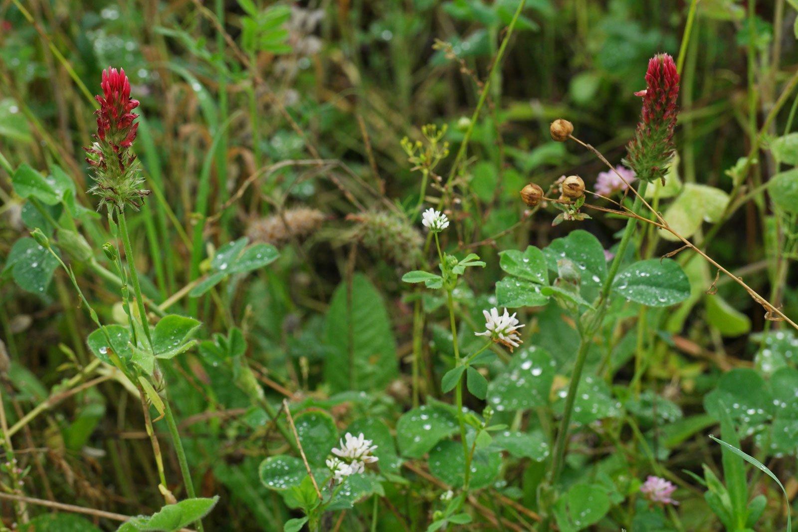 Trifolium incarnatum Trifolium resupinatum