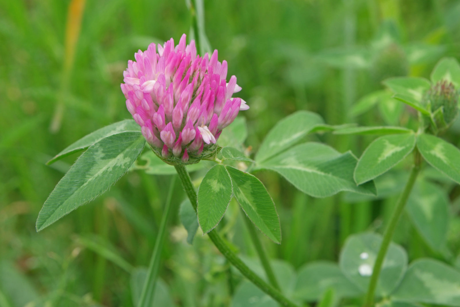 Trifolium pratense 3