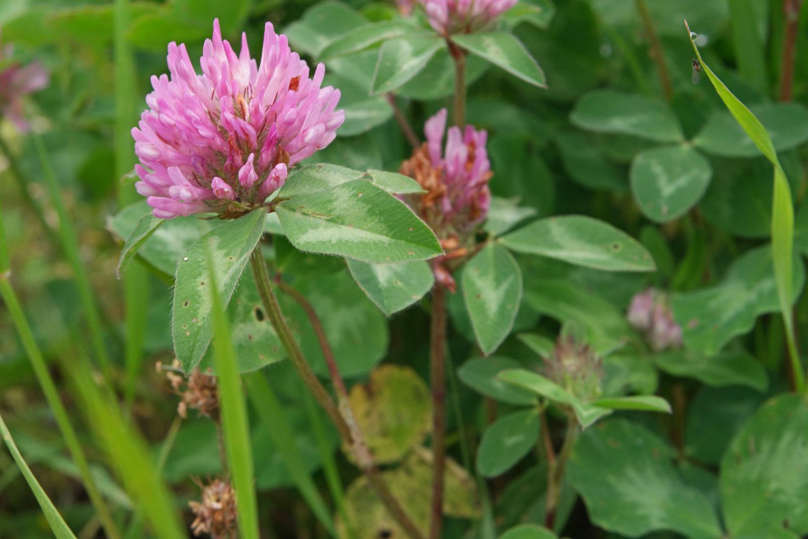 Trifolium pratense 4