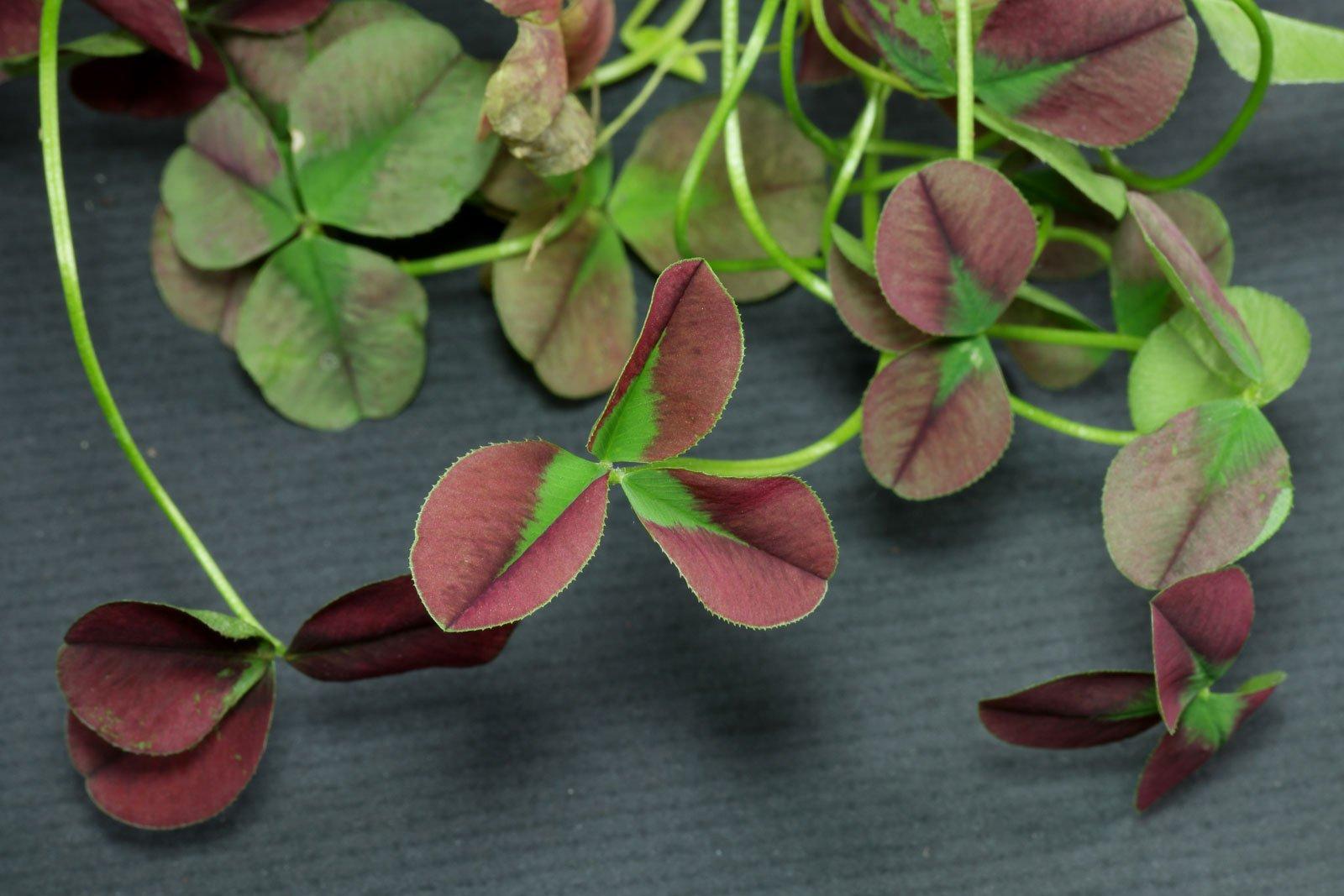 Trifolium repens Isabella