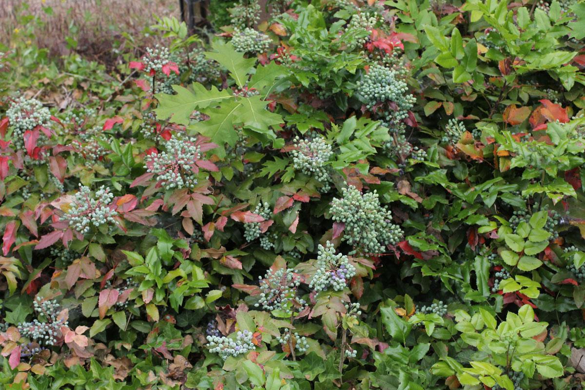 Mahoniaaquifolium