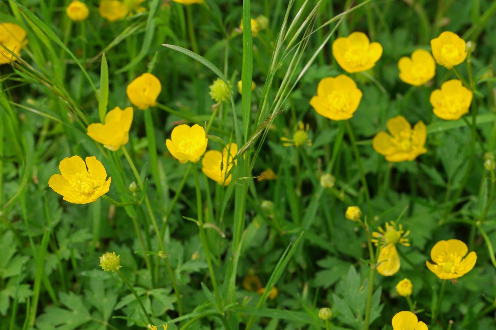 Ranunculus repens