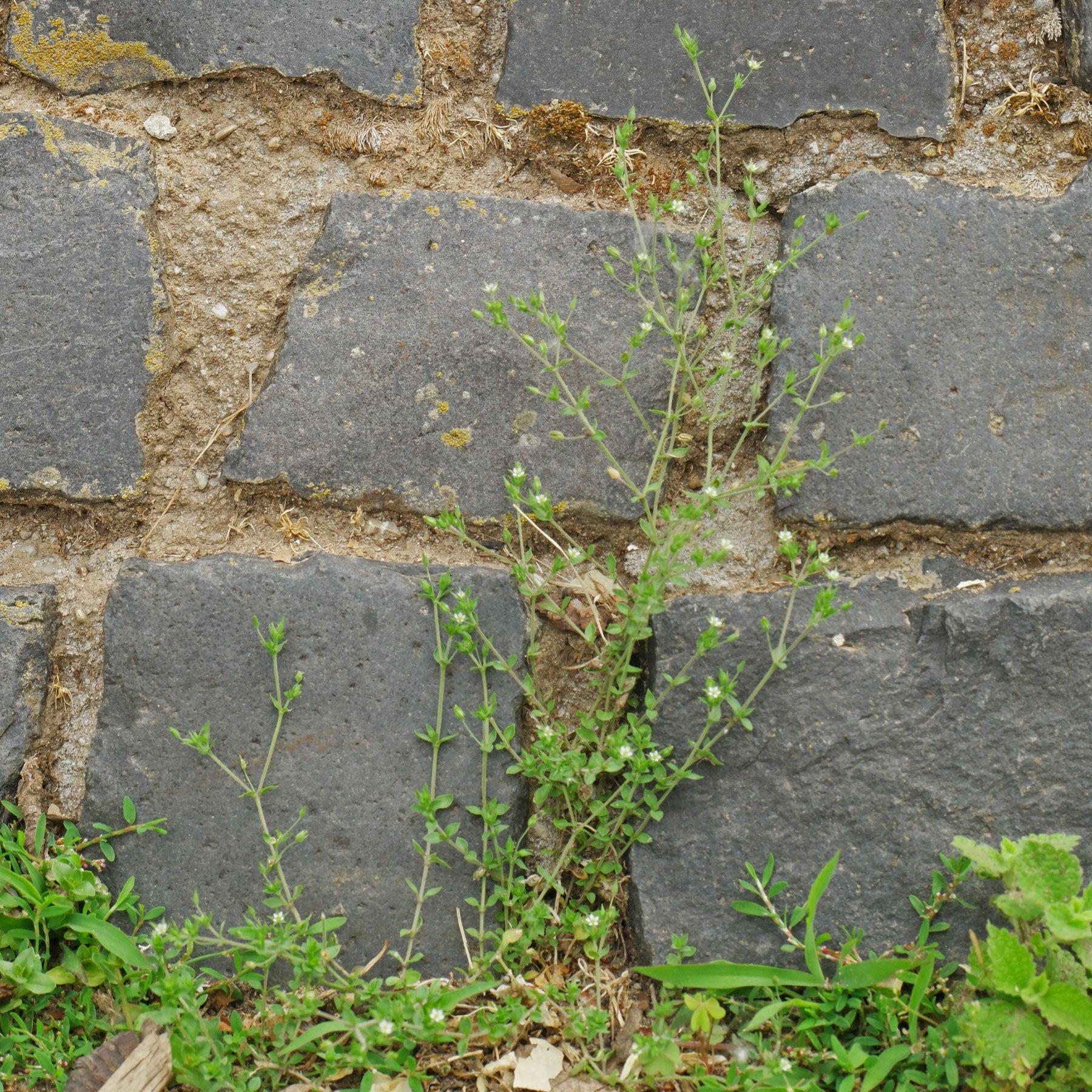 Arenaria serpyllifolia