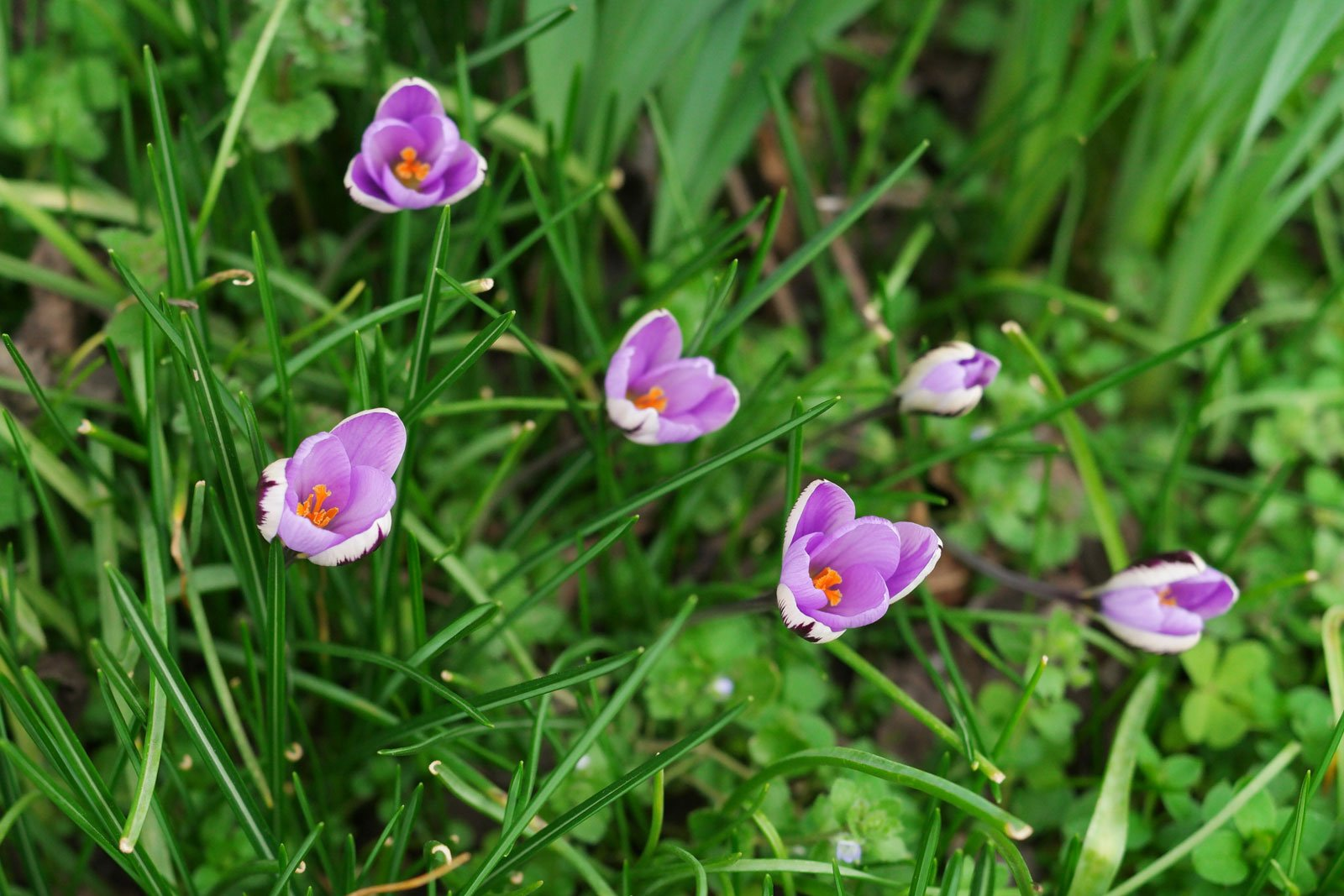 Crocus minimus Spring Beauty