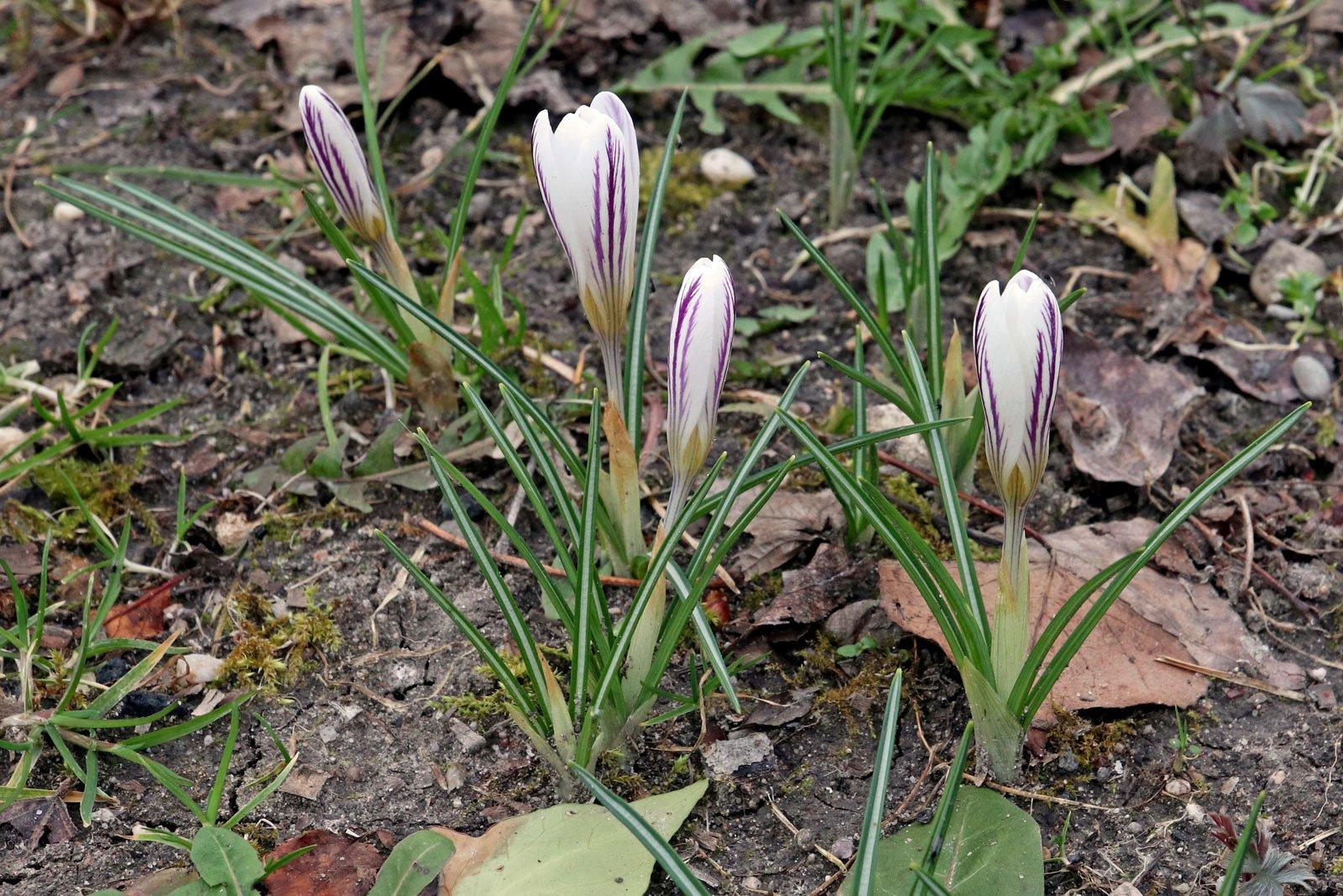 Crocus versicolor Picturatus
