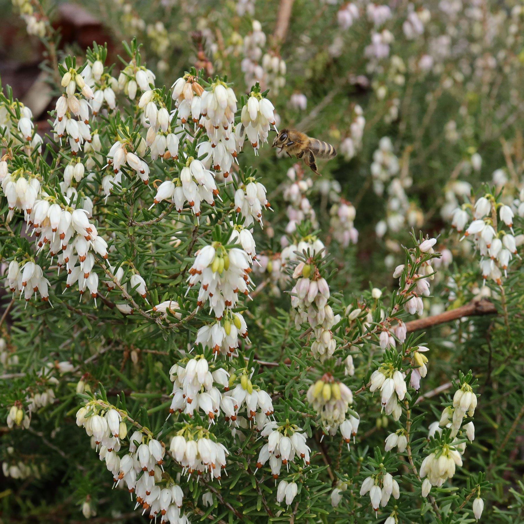 Erica carnea mit Honigbiene