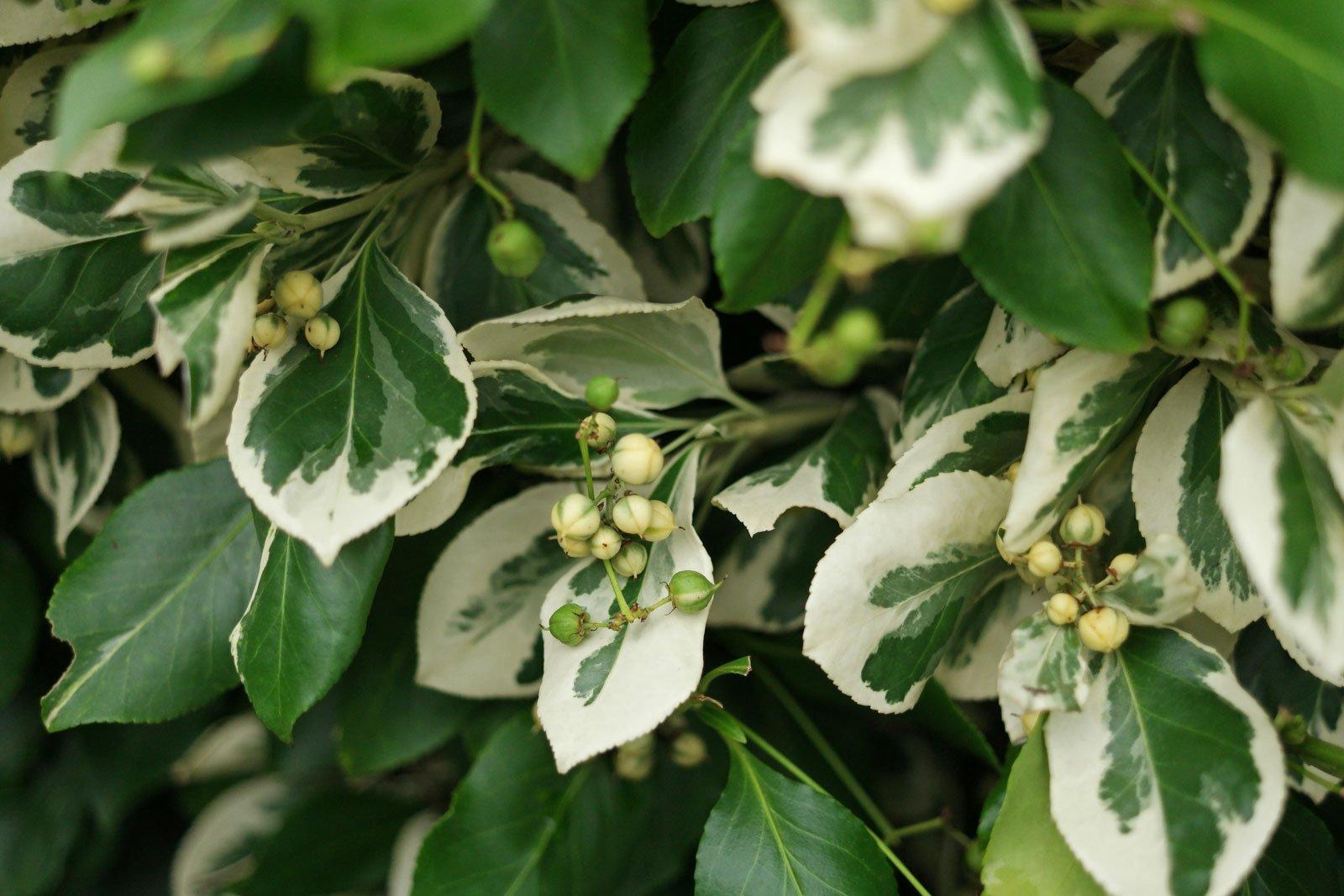 Euonymus fortunei cv.