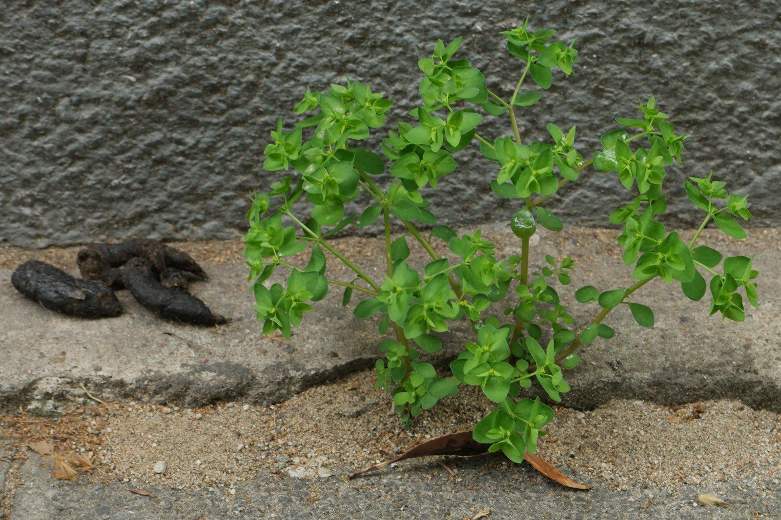 Euphorbia peplus 2