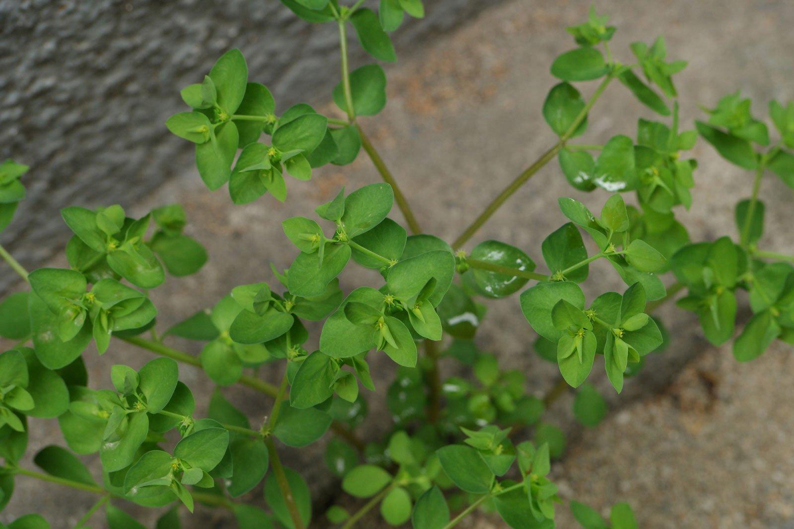 Euphorbia peplus 3