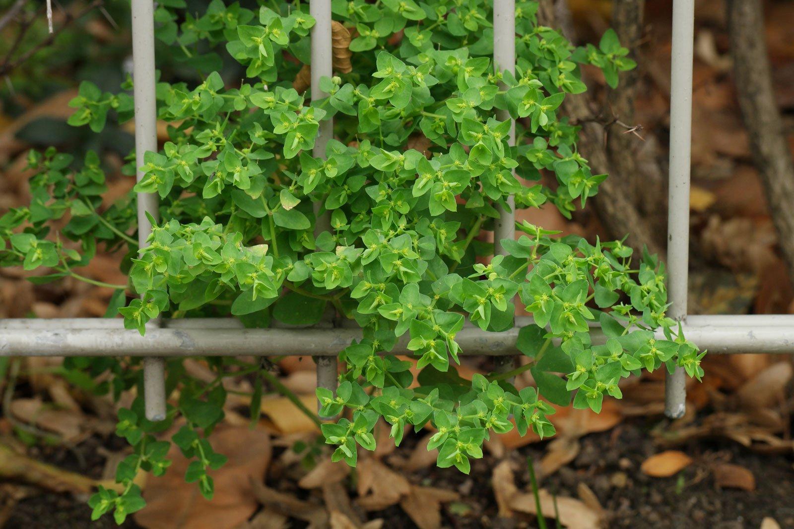 Euphorbia peplus 4