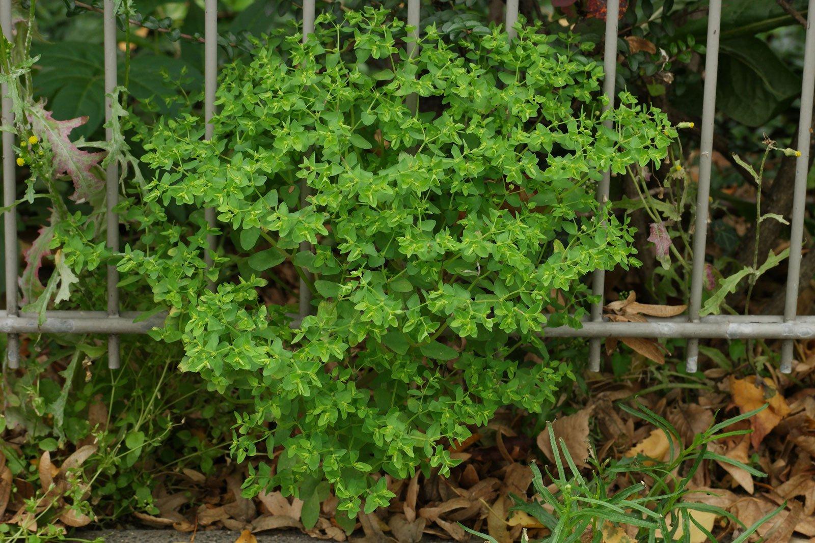 Euphorbia peplus 5