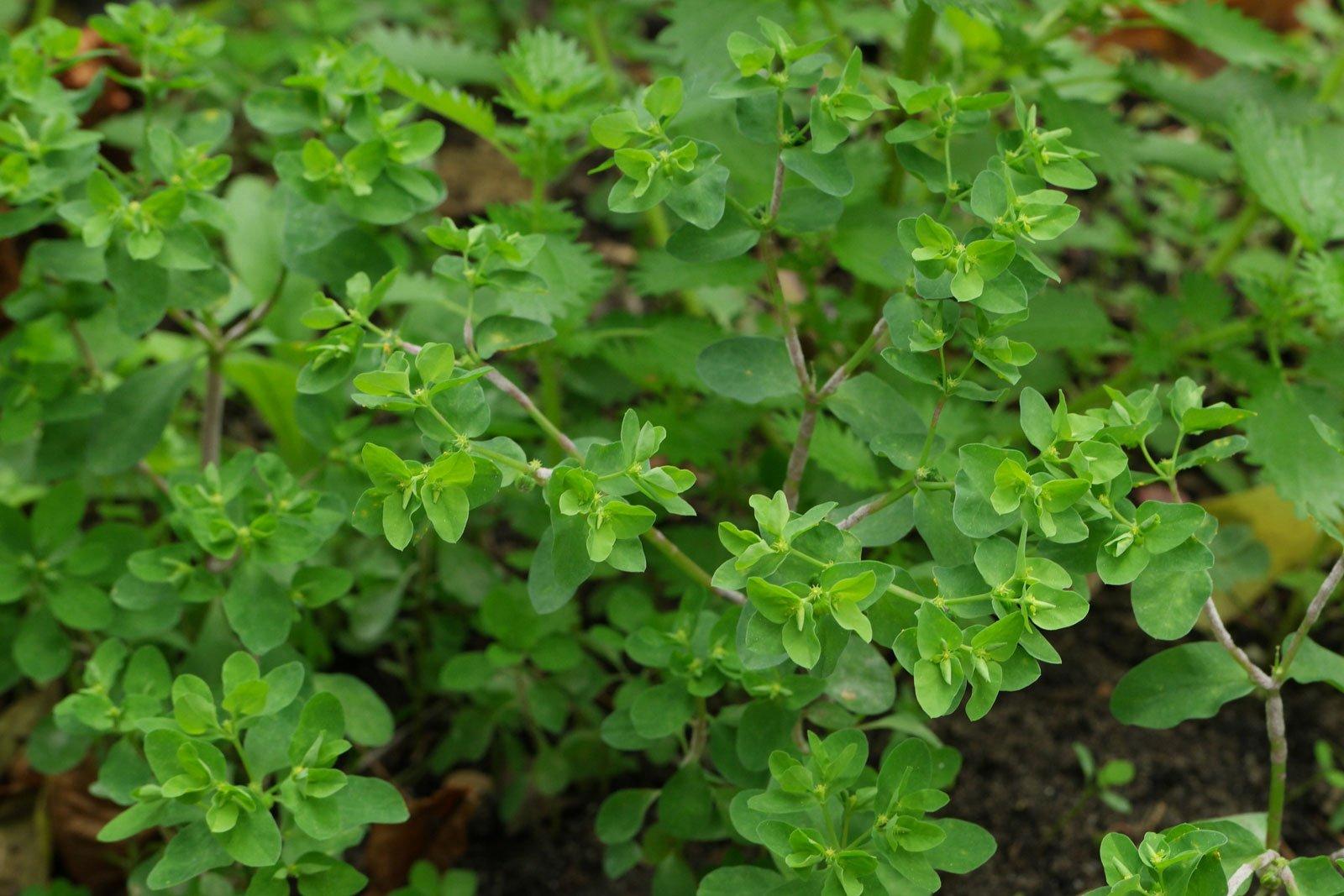Euphorbia peplus 6