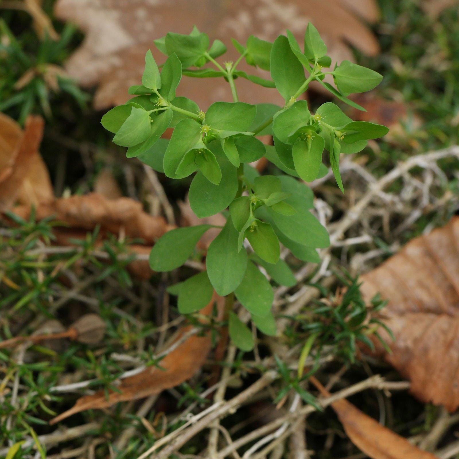 Euphorbia peplus 8