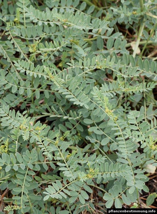 Futterwicke-Blätter