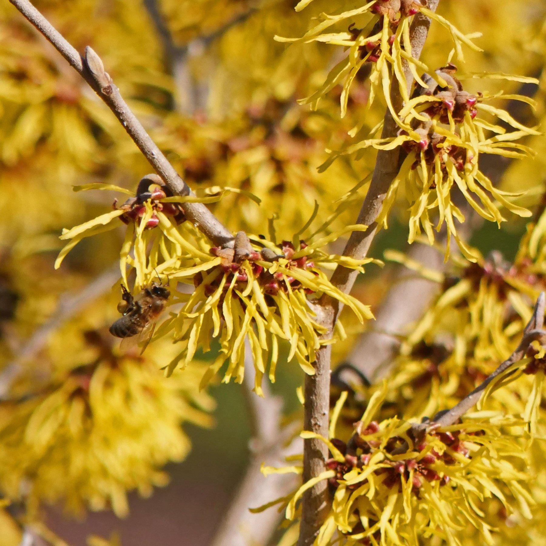 Hamamelis Blüten mit Honigbiene