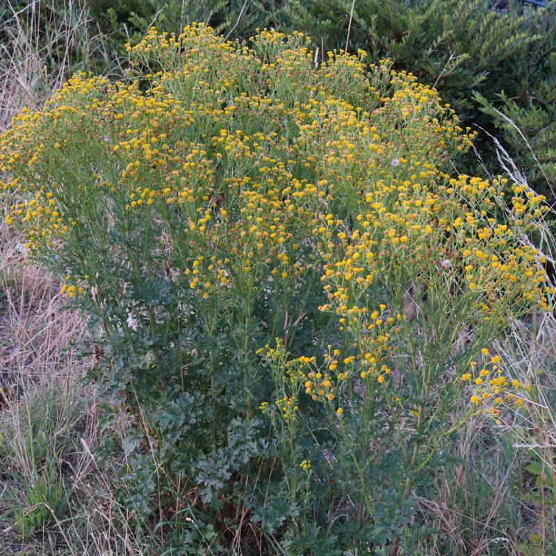 Jacobaea vulgaris subsp dunensis
