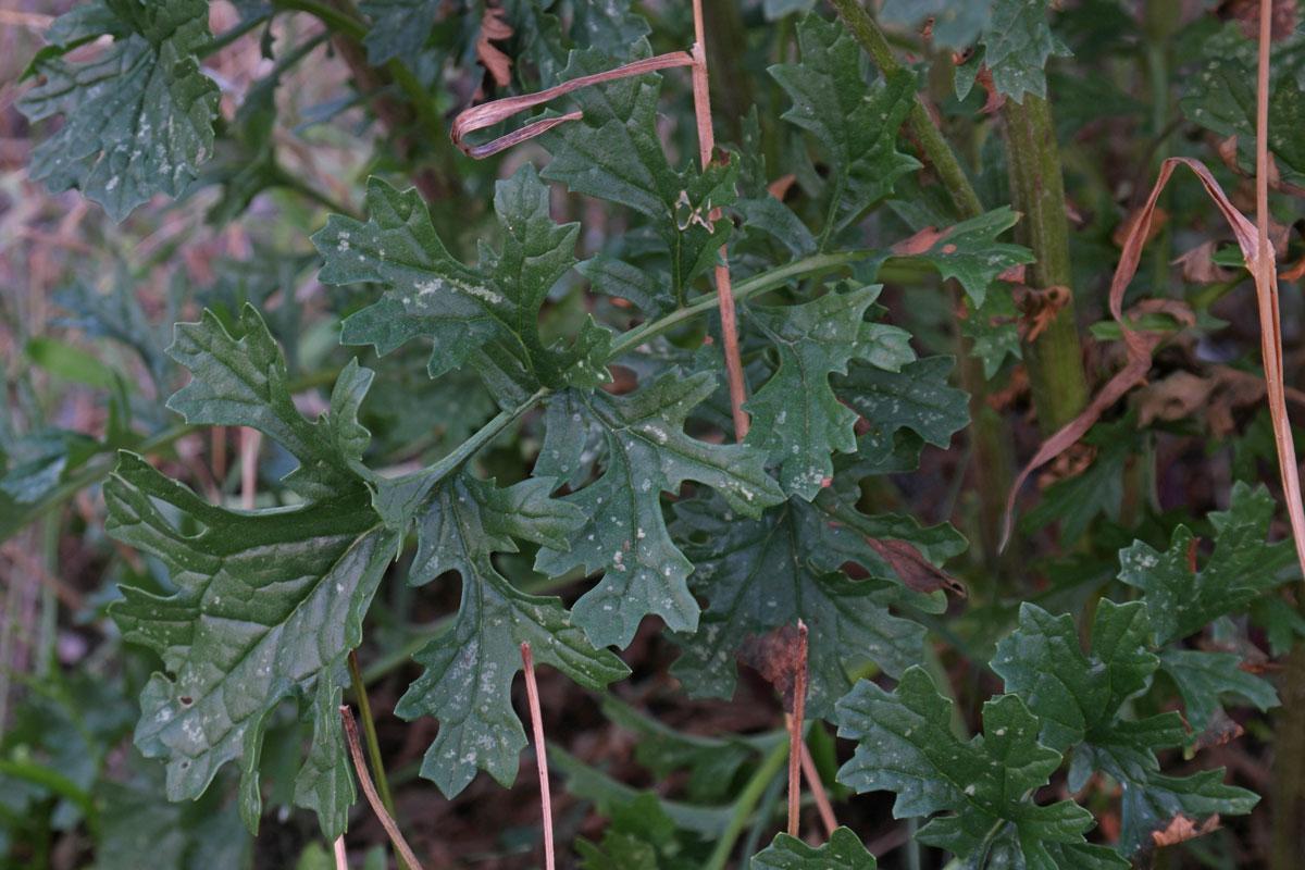 Jacobaea vulgaris dunensis