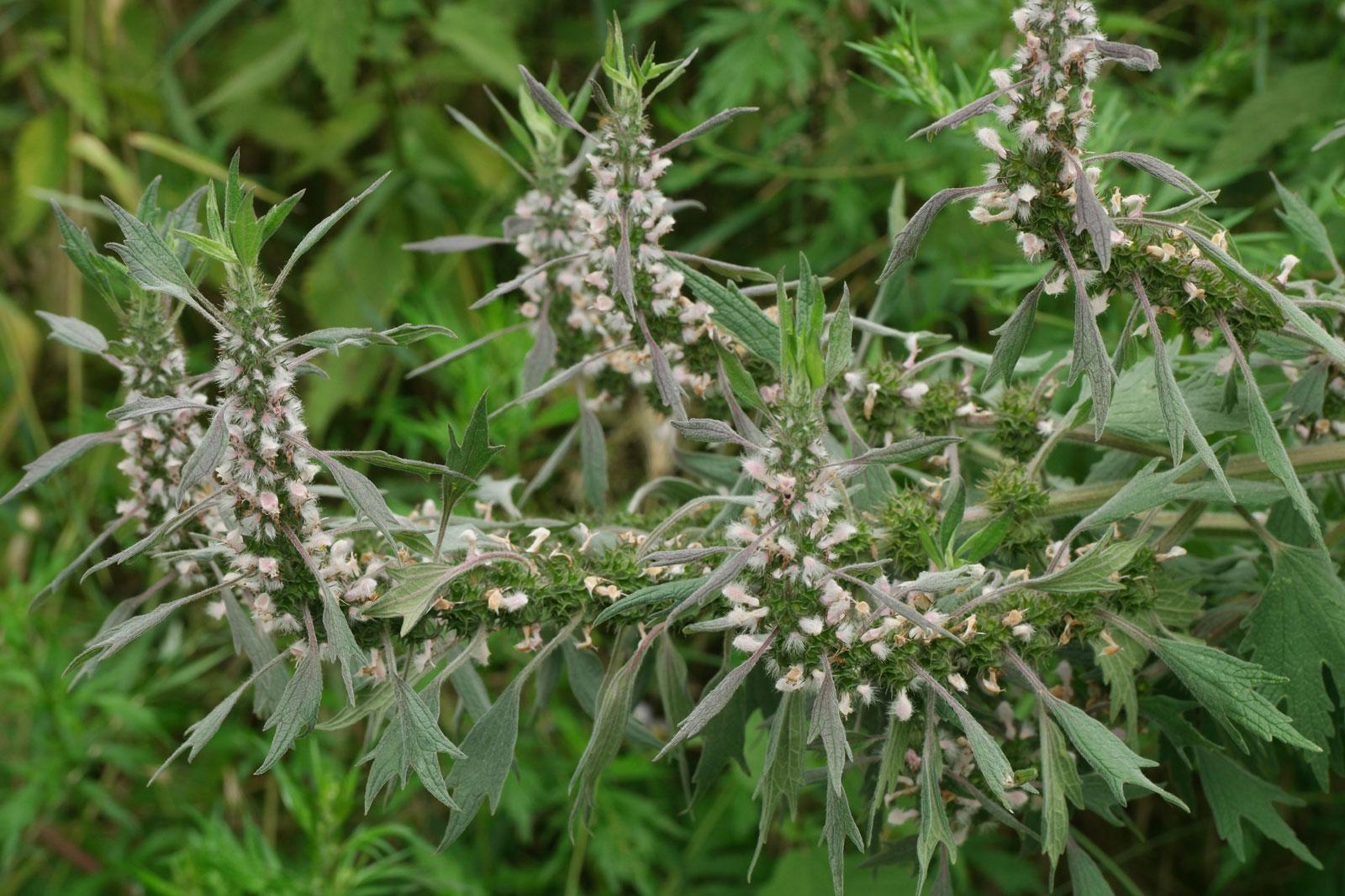 Leonurus quinquelobatus