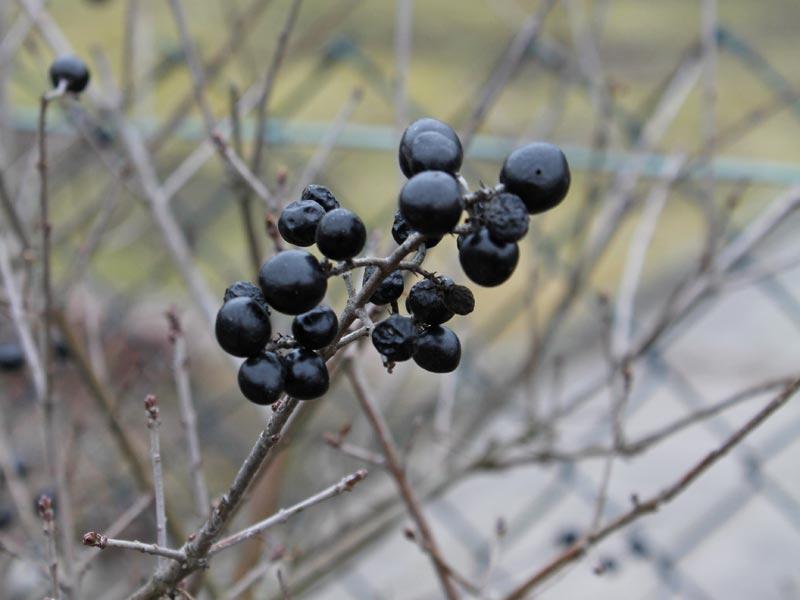 Liguster Beeren