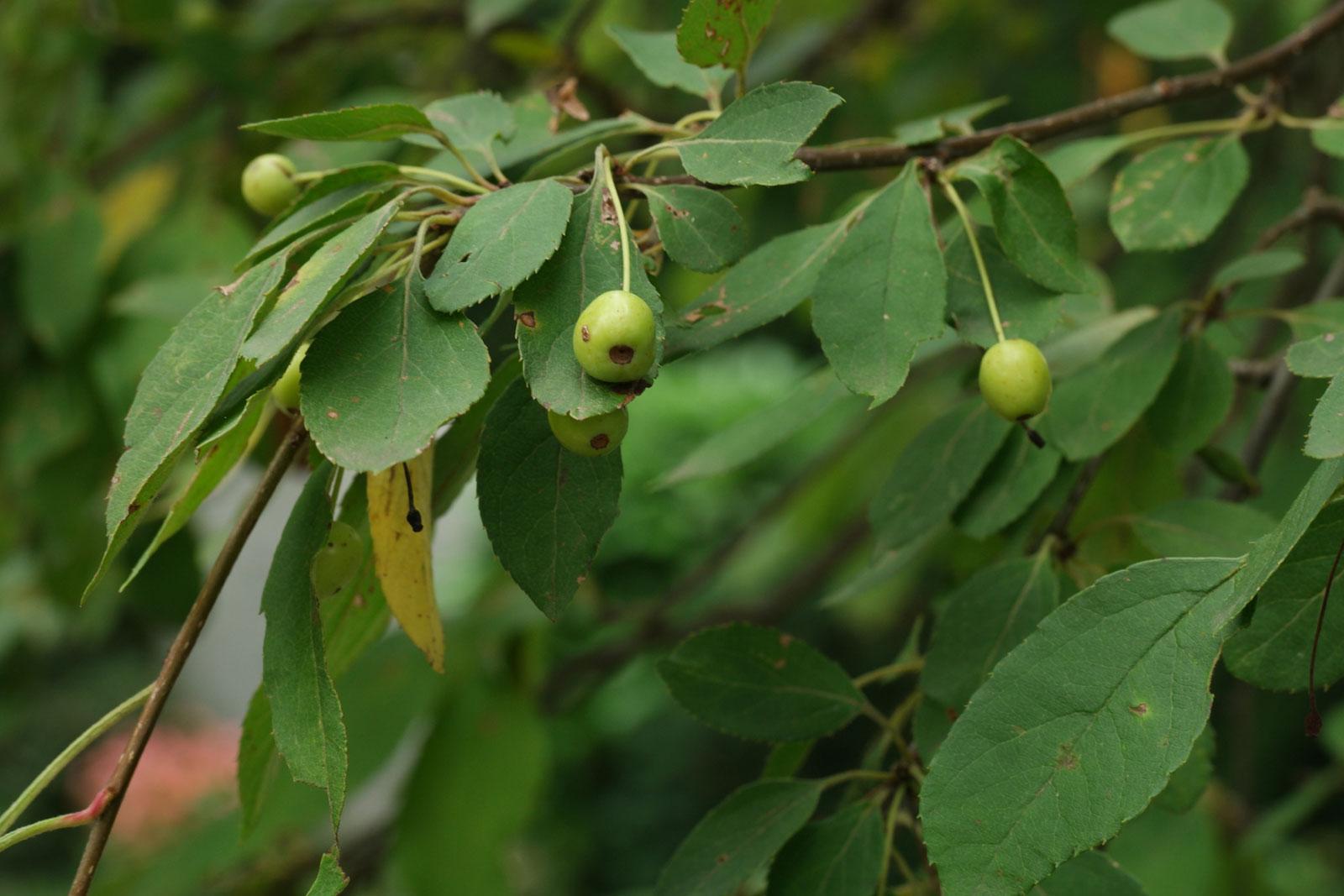 Malus cv.
